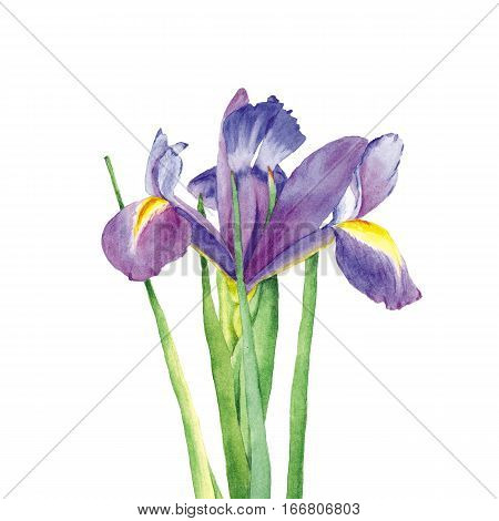 Botanical watercolor illustration of iris with dark blue and violet petals on white background. Could be used as decoration for web design polygraphy or textile