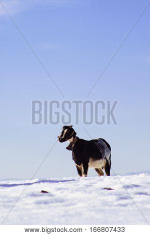 goat on white snow, animals on a farm in Maria, Almeria, Spain