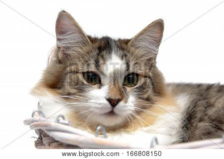 portrait of fluffy cat on a white background. horizontal photo.