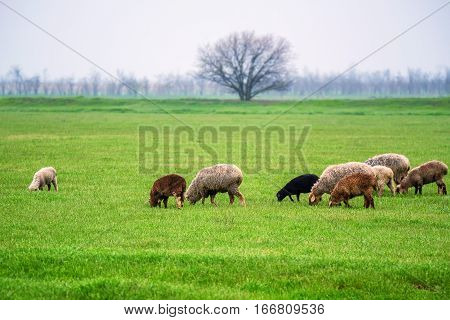 Flock of sheep grazes on a green meadow pasture