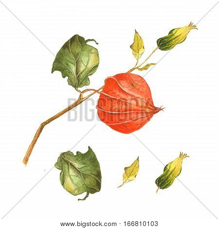 Botanical watercolor illustration set of physalis parts on white background. Could be used as decoration for healthy market restaurant menu cosmetics design package