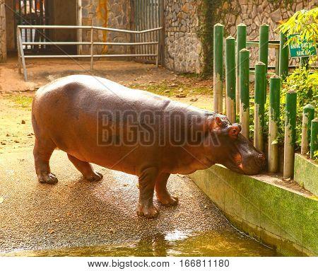 hipopotamus hipo in ho chi mihn vietnam zoo