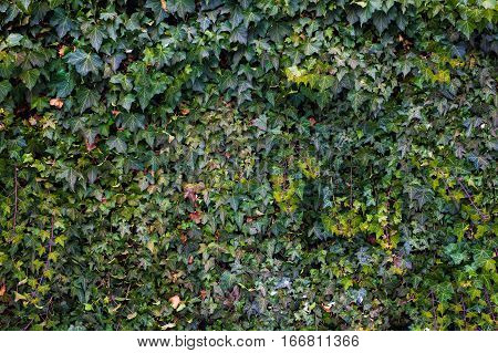 Abstract composition of a wall with lianas.