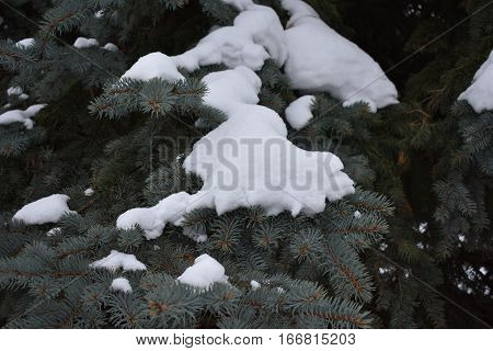fluffy ate thickly strewn with needles covered with fluffy pine needles in the snow