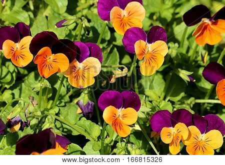 Close-up of tiny little orange and purple pansies with green leaves.