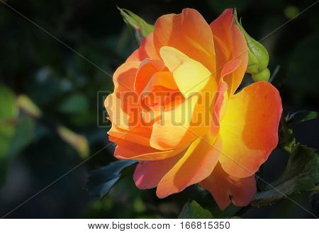 Close-up of a single peach orange and yellow rose and rose bud, on a dark green background.