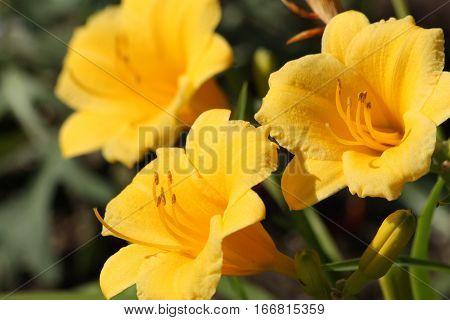 Three yellow stella de oro lily blooms on dark green background.