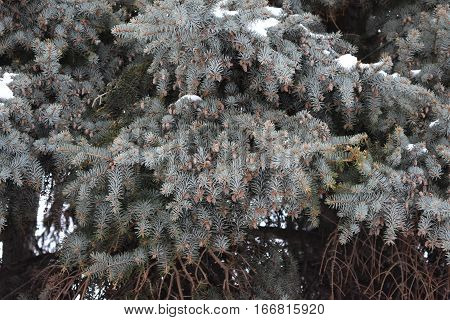ate fluffy , fluffy pine needles covered in snow