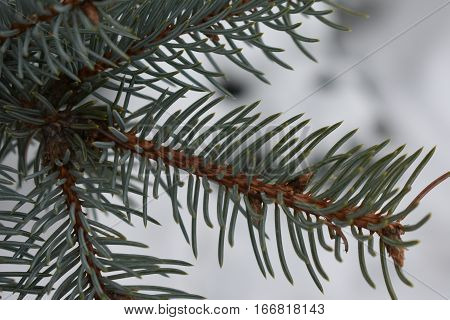 the fluffy fir branch covered with fluffy pine needles in the forest