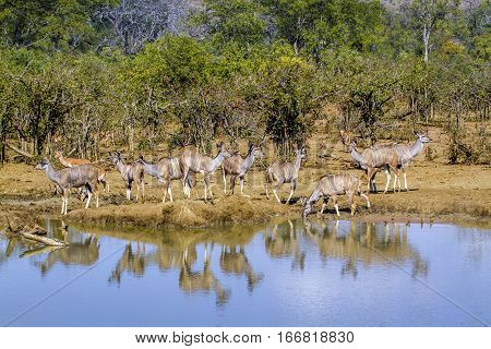Greater kudu in Kruger national park, South Africa ; Specie Tragelaphus strepsiceros family of Bovidae