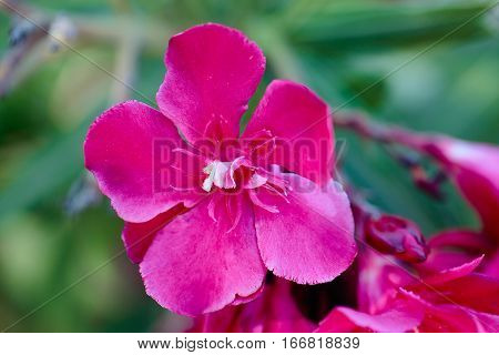 flower of a pink oleander, Nerium oleander, with the green leaves in the background