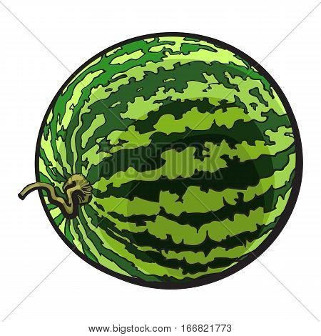 Perfect whole striped watermelon with curled up tail, sketch style vector illustration isolated on white background. Realistic hand drawing of whole ripe watermelon