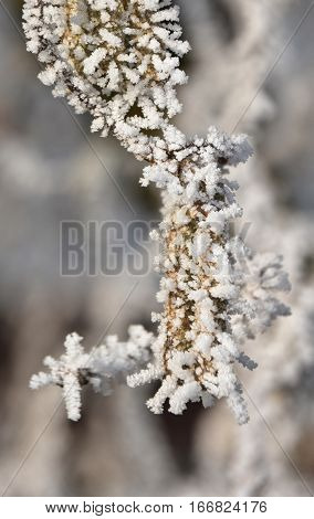 Close up of brown dry grass covered with ice