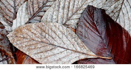 Close up  of beautiful wet winter leaves