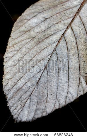 Close up  of a beautiful winter leaf