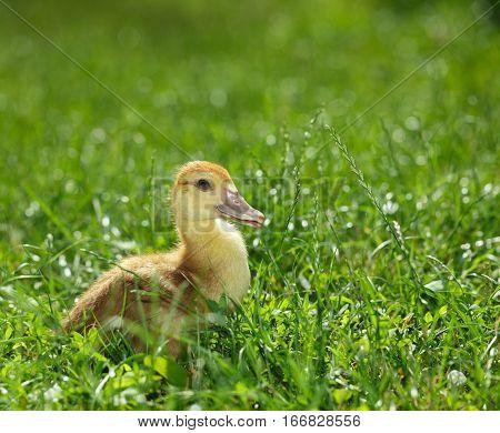 Duckling On Green Meadow
