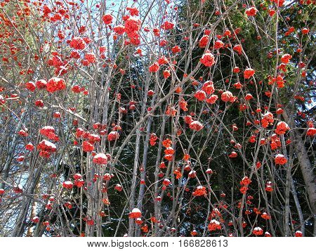 There are service tree and snowcovered red berries