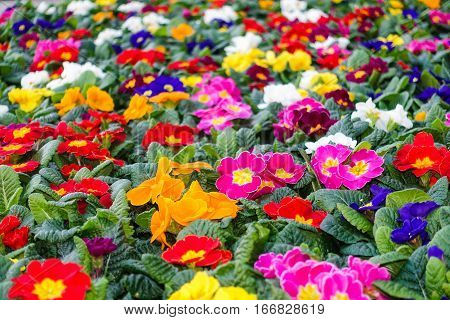 Closeup of a colorful flower bed with red blue yellow pink white orange and purple primroses. Shallow depth of field.