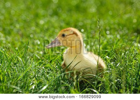 Side low angle view of poult chick on green grass background at sunny summer day