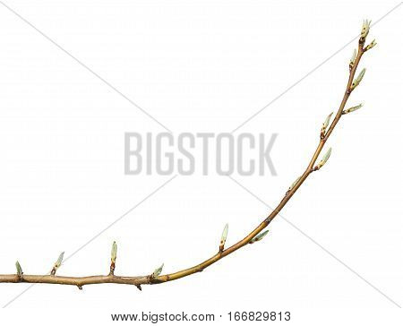 Closeup of tree bent twig with buds at spring isolated on white