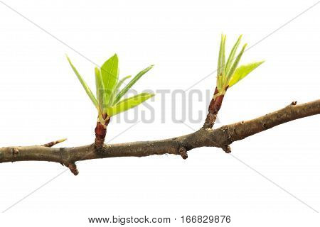 Macro of fresh leaves on fruit-tree twig isolated on white background