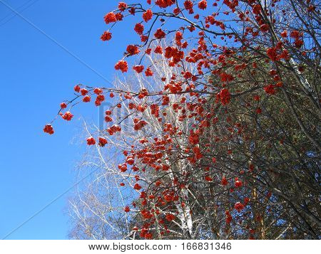Service Tree, Blue Sky And Red Berries