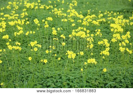clover field and yellow wild flowers growing in a vacant lot
