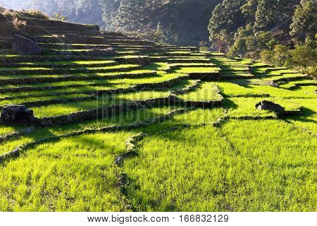 Beautiful terraced rice field green rice field or paddy field in Nepal asian rice Oryza sativa