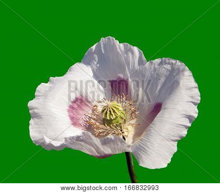 Detail of flowering poppy or opium poppy in Latin papaver somniferum poppy flower isolated on green background white colored poppy is grown in Czech Republic