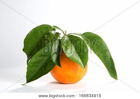 Freshly picked organically grown Florida orange has a stem with leaves attached to it.