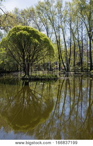 Spring landscape. Willow and poplar are reflected in water surface of pond of urban Park. Shot taken in arboretum of Yekaterinburg Russia.