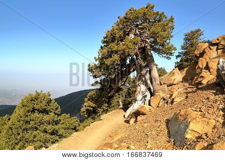 CYPRUS: Juniper tree near Olympus mountain in Troodos mountains