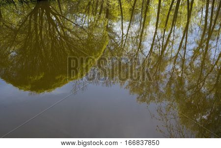 Reflection of spreading willow and poplars in surface of water in early spring.