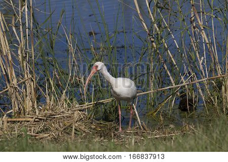 A white ibis searching for food in a marsh