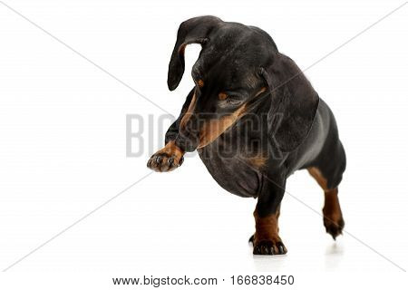 Studio Shot Of An Adorable Dachshund Dog
