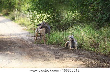 Spotted Hyenas (crocuta Crocuta) Standing Among Grasses, South Africa.