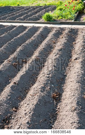 Furrows in a prepared almost empty vegetable garden in springtime