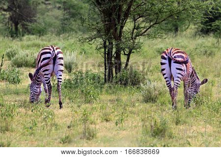 Zebras Herd On Savanna