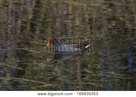 a moorhen swimming in a marsh in Anahuac NWR in Texas
