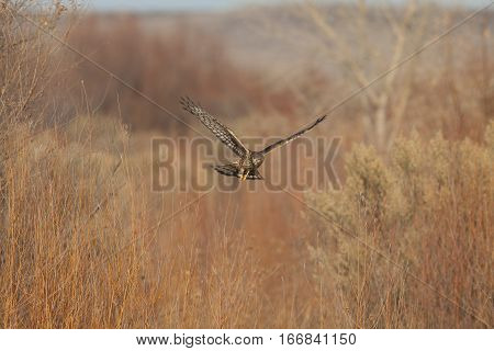 northern harrier hunting in a field at bosque del apache nm