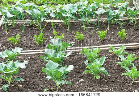 Young cabbage,celeriac and leeks plants on a springtime vegetable garden bed