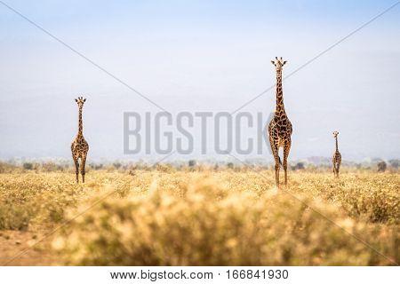 Three Giraffes Walking On Savanna