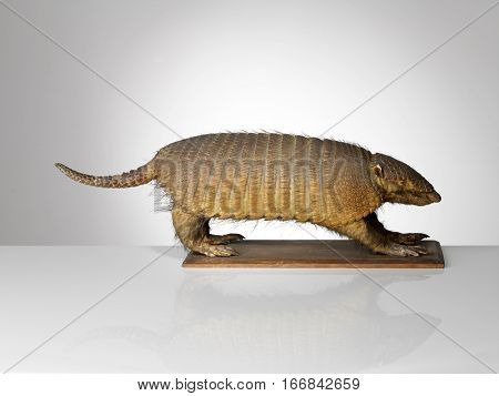 Taxidermy Armadillo on plinth on grey graduated background and surface