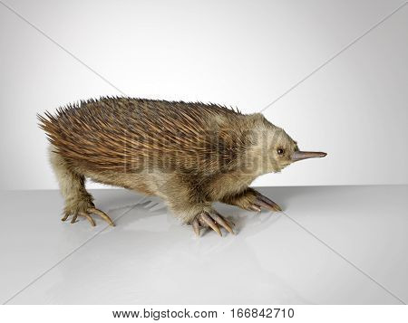 Taxidermy spiky echidna on grey graduated background