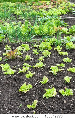 Fresh green lettuce on a vegetable garden patch