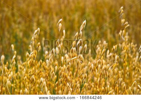 Ripe oats in the field in late August, close-up