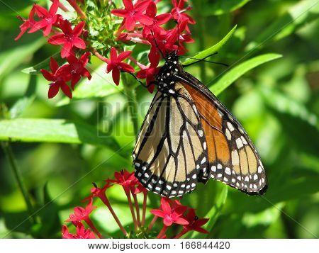 Monarch butterfly feeding on pink milkweed flower in the garden