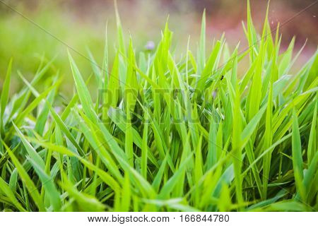 Green grass close up view for blur background texture