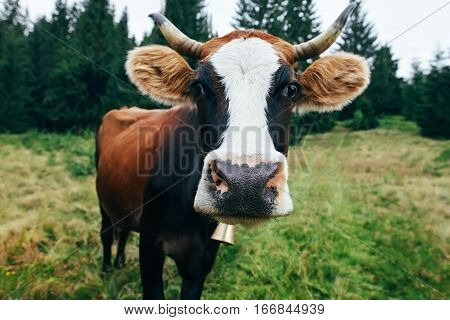 Funny Cow On A Meadow In Forest
