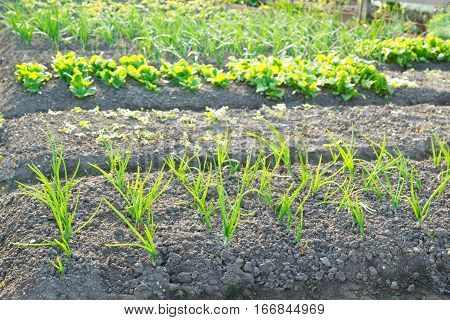 Fresh young scallions and on a sunny vegetable garden patch with other vegetables in the background